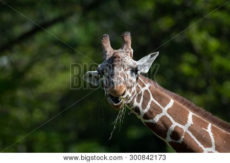 Captive Giraffe Feeding On Vegetation In A Zoo With Trees As Background.