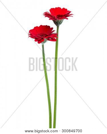 two Vertical red gerbera flowers with long stem isolated on white background