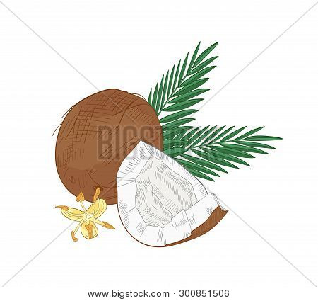 Elegant Natural Drawing Of Cracked Coconut, Palm Branches And Blooming Flowers Isolated On White Bac