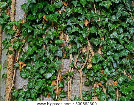 Abstract Close Up Background Of Green Ivy Leaves