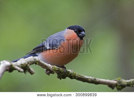 A Male Bullfinch Bird Perched In Local Woodlands