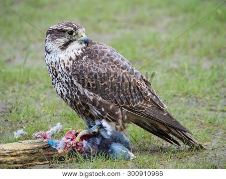 Lanner Falcon And His Pigeon Prey In Meadow
