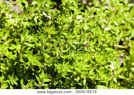 Sedum Sarmentosum, Known As Stringy Stonecrop, Gold Moss Stonecrop, And Graveyard Moss, In Spring Be