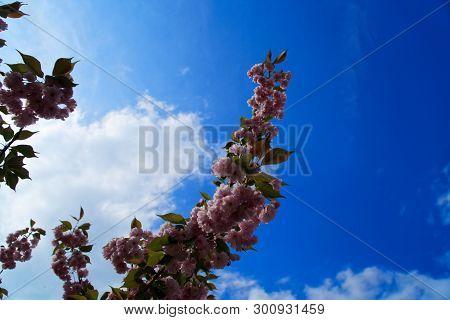 Sacura Tree Against Blue Sky, Cherry Blossom, Sacura Cherry-tree. Sacura Flowers On Blue Sky.