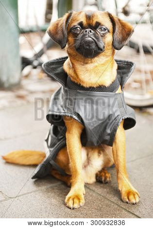 Cute Dog Wearing Black Jacket In The Street