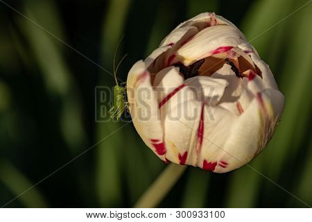 A Small Grasshopper On A Flower. Cute Grasshopper On The Bud Of A Tulip. Green Grasshopper On White