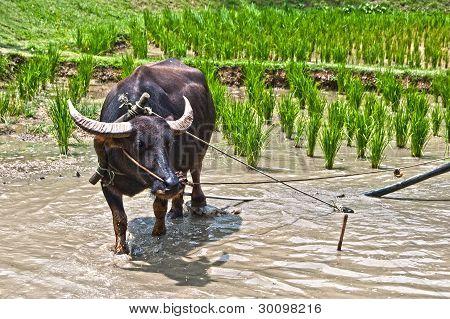 Ox in rice field
