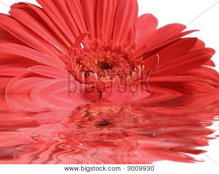 Red Gerbera In Water Ripples