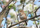 House Wren Nest (troglodytes aedon) singing in an apple tree poster