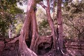 The ruins of ancient buildings, absorbed by the jungle. Huge tree roots Tetrameles. Antique stonework in the jungle. poster