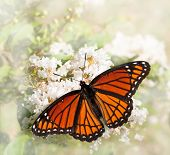 Dreamy image of a Viceroy butterfly feeding on a white Grape Myrtle poster