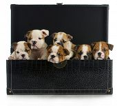litter of puppies - six english bulldog puppies in a leather chest poster