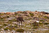 Ostrich with youngsters feeding and walking near the sea poster