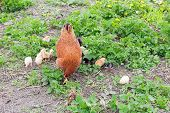 Brown clocking hen with brood of chicks among grass. Raising domestic fowl on the farm by free range method outdoors poster