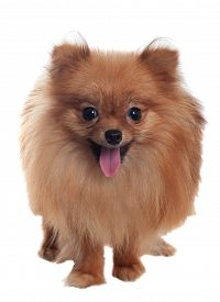 Pomeranian Spitz With Tongue Hanging Out Close-up. On White Background, Isolate