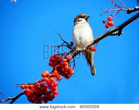 The sparrow sits on a branch and eats berry