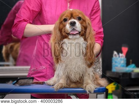 A Dog Cavalier King Charles In The Grooming Office On The Table.