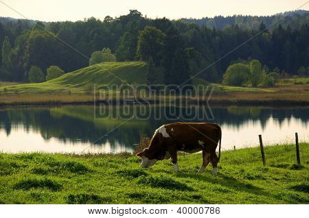 Grazing Cow In Idyllic Landscape