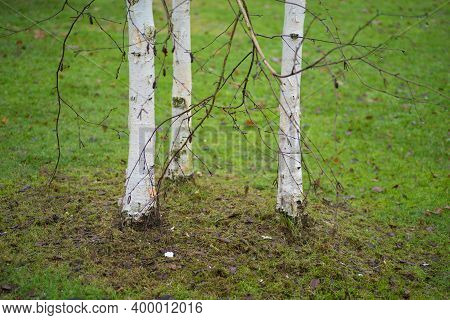 Closeup Of Three Birch Trees On A Grass Field