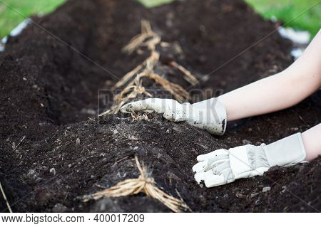 A Young Woman's Hands Planting A Row Of Asparagus Rhizomes Or Crowns In A Raised Bed Filled With Org
