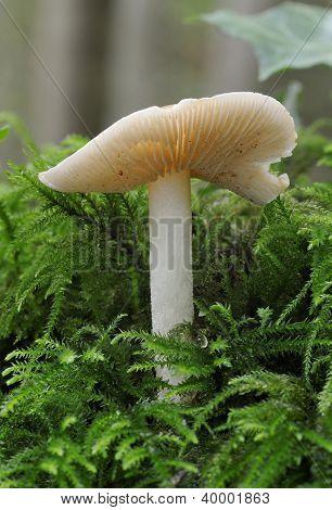 Poisonpie Fungus