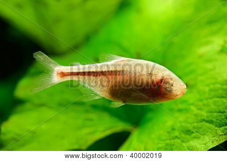 Blind Cave Fish or Mexican Tetra (Astyanax fasciatus mexicanus) swimming underwater