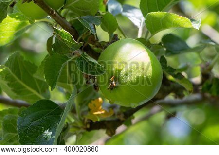 Green Apple Ripening On An Apple Tree In An Orchard During Summer