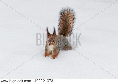 Cute Red Squirrel Carefully Walks In The White Snow With Snowflakes. Beautiful European Red Squirrel