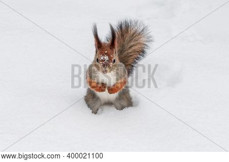 Cute Red Squirrel Sitting In The White Snow Covered With Snowflakes. Beautiful European Red Squirrel