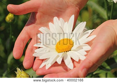 Beautiful Camomile Flower In The Woman's Hands
