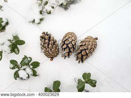 Three Pinecones On The White Snow. Winter Fir Cone In The Snowy Forest