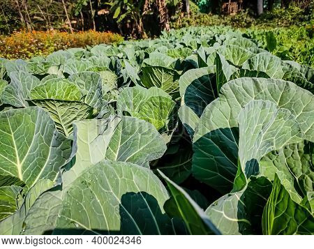 Cabbage Is A Leafy Green, Red, Or White Biennial Plant Grown As An Annual Vegetable Crop For Its Den