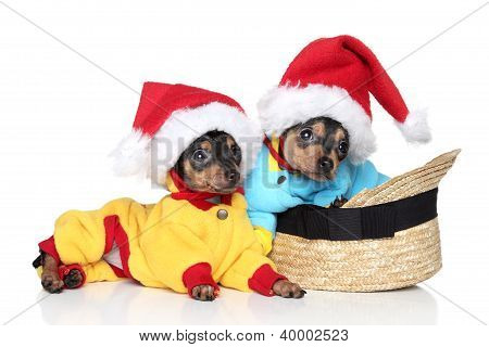 Toy Terrier Puppies In Christmas Hats