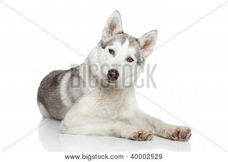 Siberian Husky Resting