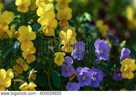 Small Yellow And Purple Pansies Blooming (viola Cornuta Admire Clear Mix)