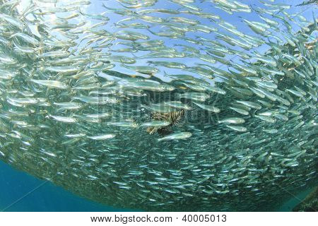 Shoal of Sardine fish hunted by Lionfish