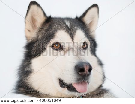 Funny Alaskan Malamute In Winter Forest. Close Up Portrait. Open Mouth.