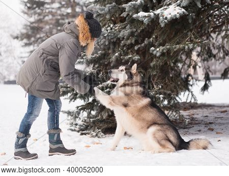 Woman Training Alaskan Malamute In Winter Forest. Give Paw.