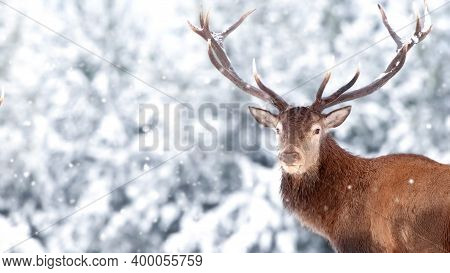 Noble Red Deer Male Against The Winter Snow Forest. Winter Christmas Wonderland. Copy Space.