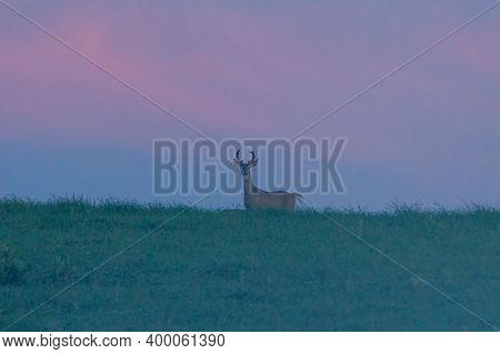 Silhouette Of A Young Whitetail Buck (odocoileus Virginianus) On A Colorful Horizon Standing In A Gr