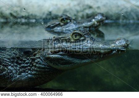 Close Up Profile Portrait Of Crocodile Hiding In Water