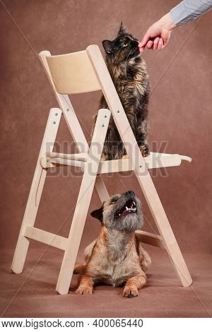 Tortoiseshell Trained Maine Coon Cat On Chair Gets A Treat While Obedient Tan Border Terrier Dog Sit