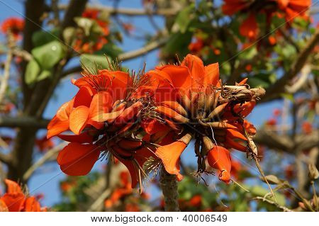 Beautiful Flamboyant Tree (royal Poinciana Or Delonix Regia  ) Is A Species Of Flowering Plant