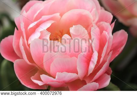 A Pink Peony In Close Up In A Wedding Arrangement