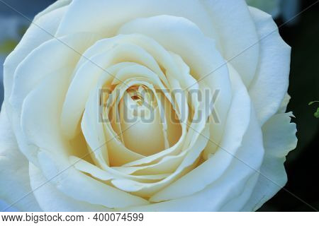 Close Up Of A Single White Rose As Part Of A Bridal Bouquet