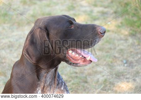 German Shorthaired Pointer, 4 Year Old Male Dog, Liver And White Ticked Coat