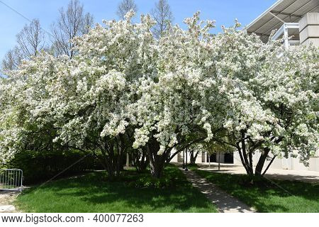 Crab Apple Tree Blossoms In Full Bloom In The Spring Time