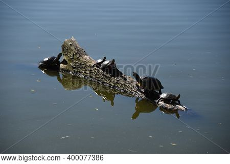 Turtles Sunning Themselves On A Log In A Lake Pond