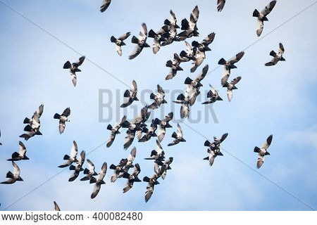 Group Of Carrier Pigeons Flying In Flight Together, Practising Their Skills. Also Called Homing Pige