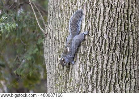 Eastern Gray Squirrel, Native Animal  To Eastern North America.